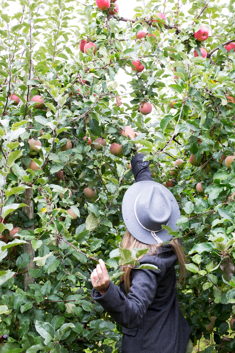 kiyokawaorchardsapplepicking10web
