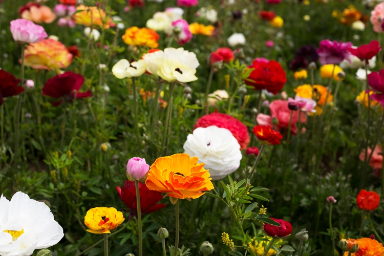 springcarlsbadflowerfields1