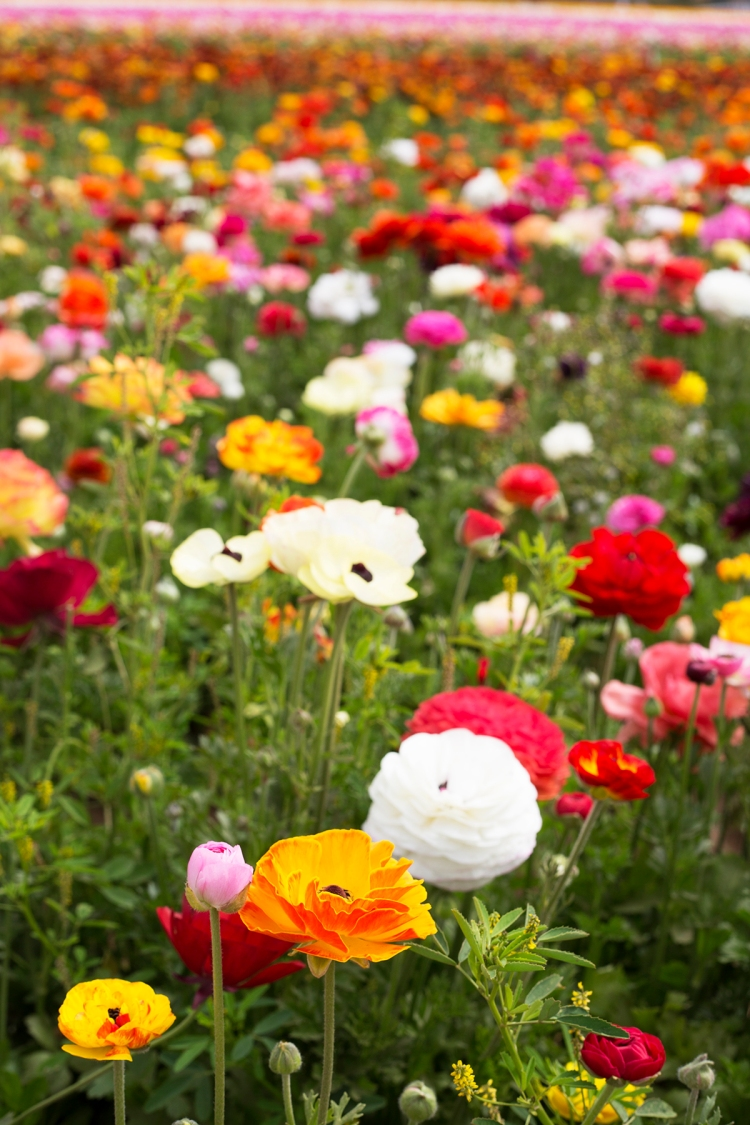 springcarlsbadflowerfields2